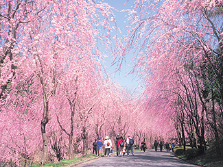 Weeping cherry trees in full bloom